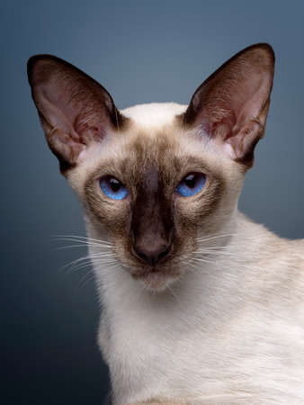 Oriental siamese cat sitting on a black background. Reklamní fotografie