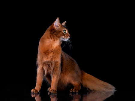 Pedigree orange Somali cat photographed indoors in studio on black background.