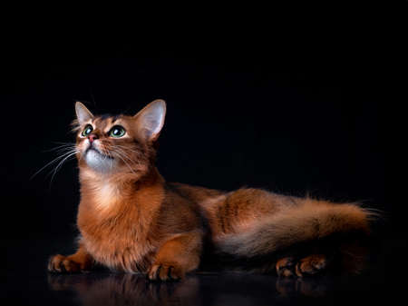 Full body shot of pedigree Somali cat isolated on black background indoors in studio. 写真素材