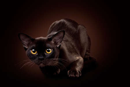 Horizontal photo of a brown Burmese cat. Studio photo on a brown background