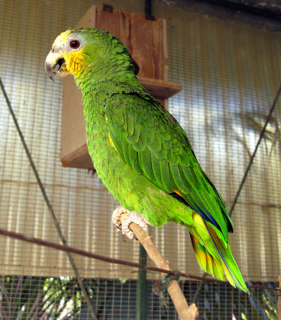 It seemed to pose this parrot, ammazzone yellow crest, with its vibrant colors led me to make this shot