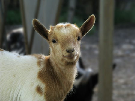 tantrums: And this rascal very small sample of dwarf goat, is always on the move as the kids are looking for tantrums