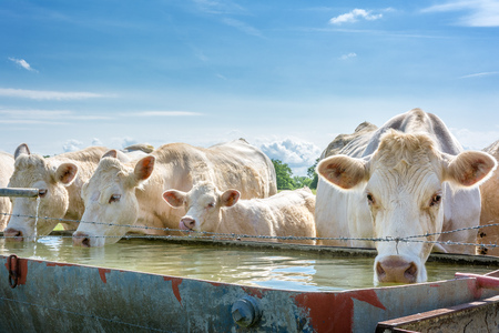 French countryside. Some cows drinking water at a drinking spot on the pasture.