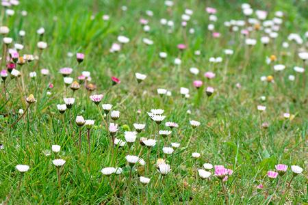 Frühling. Makroschuß des Grases mit Gänseblümchen blüht im Hintergrund.