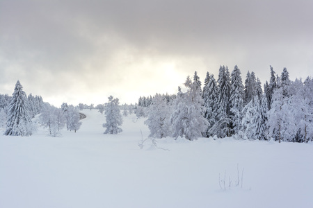 Winter Time - Black Forest. Winter landscape with firs covered by snow and sun appearing in the background.