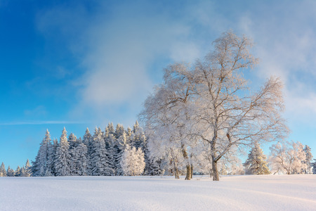 Wintertime - Black Forest. Winter landscape with firs covered by snow.