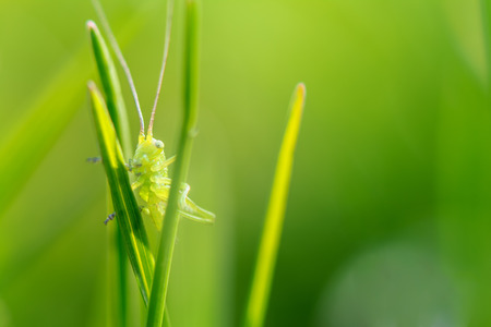 Springtime. Macro shot of a a green grasshopper awakening in the early morning on a blade of grass.