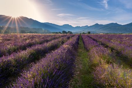 Paisaje francés - Drome. Salida del sol sobre los campos de lavanda en la Provenza (Francia).