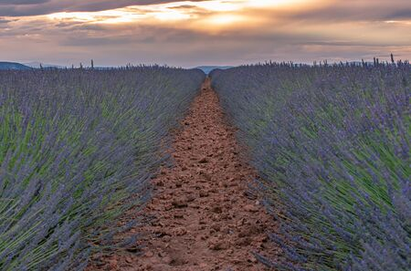 French landscape - Valensole. Sunset over the fields of lavender in the Provence (France). Stok Fotoğraf