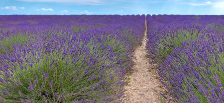 French landscape - Valensole. View over the fields of lavender in the Provence (France).