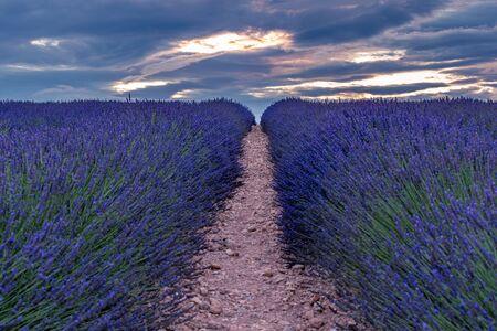 Paisaje francés - Valensole. Puesta de sol sobre los campos de lavanda en la Provenza (Francia).