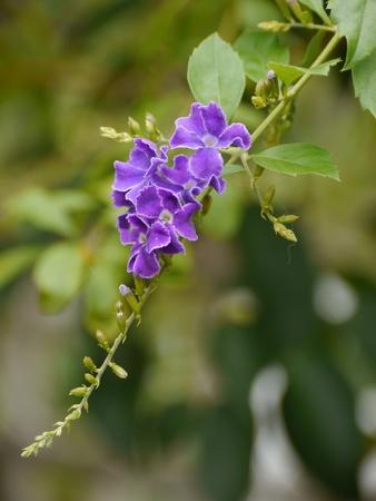 dewdrop: Golden Dewdrop, Sky Flower, Duranta Repens.