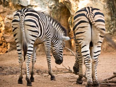 Burchells Zebra photo
