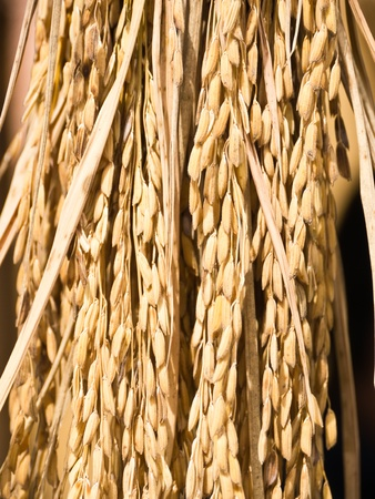 Ear of rice, brown paddy photo