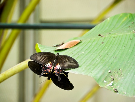 Two Red helen butterflies breed in butterfly garden in Bangkok