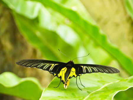 Golden Birdwing butterfly on green leaf in butterfly garden in Bangkok photo
