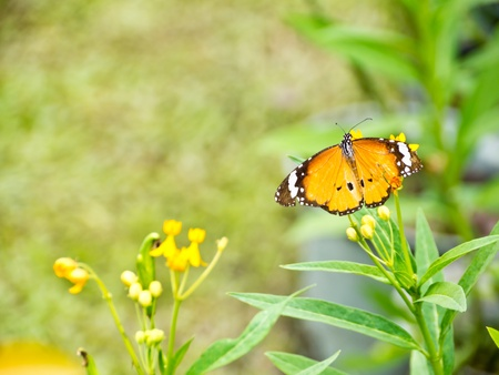Plain Tiger butterfly on flower in natural photo