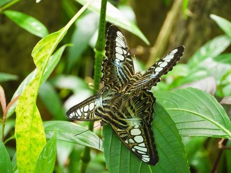 Two Clipper butterflies breed in butterfly garden  photo