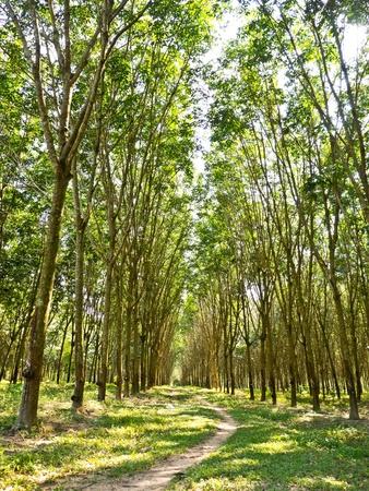 Rubber plantations photo