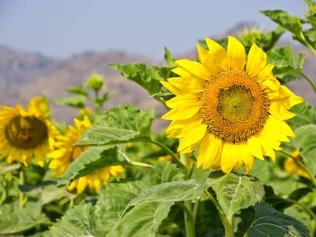 Sunflower in field photo
