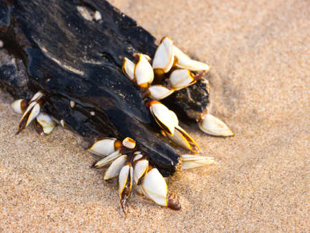 Gooseneck barnacles on lumber Stock Photo - 12767878