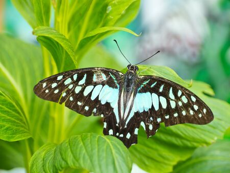 Tailed Jay Butterfly on leaf photo