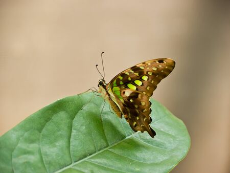 Common Jay Butterfly on leaf photo
