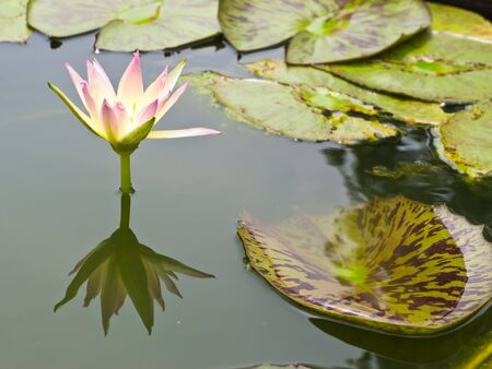 two tone: Two tone water lily in pond