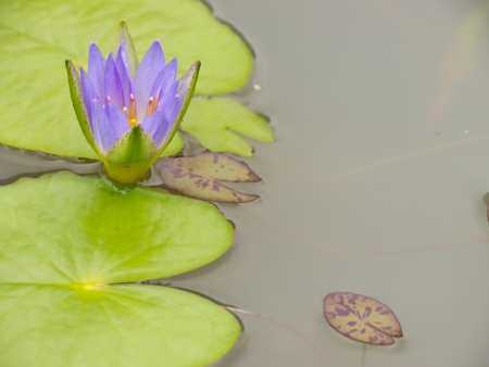 Nymphaea cyanea, Blue water lily in pond photo