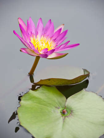 Red water lily in pond Stock Photo - 13869957