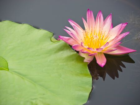 Pink water lily float on water photo