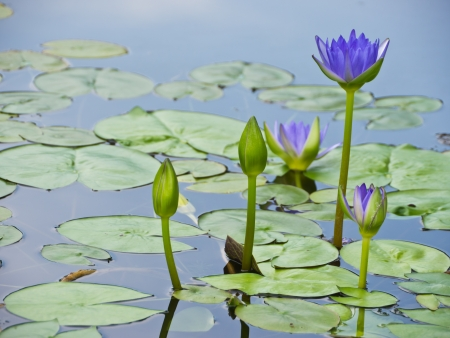 Water lily pond photo