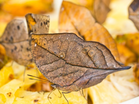 Indian leafwing butterfly in park