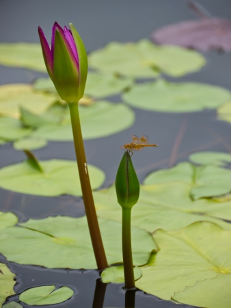 Water lily and dragonfly photo