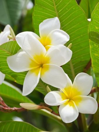 Plumeria flower or temple tree