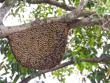 apis: Apis florea or Dwarf honeybees hive on tree