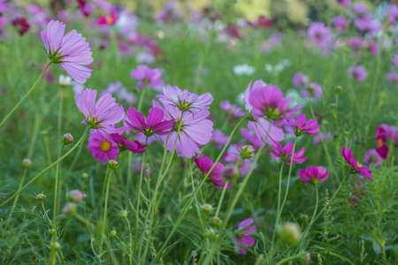 Cosmos flowers in the field