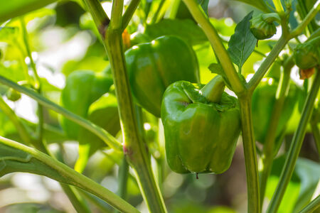 Green sweet pepper plant or bell pepper