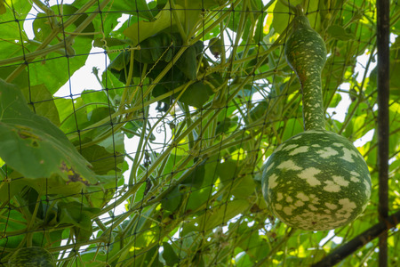 Bottle gourd or Calabash in the garden