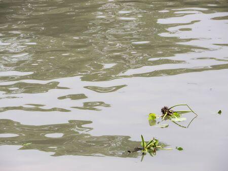 water hyacinth: Floating water hyacinth on natural river