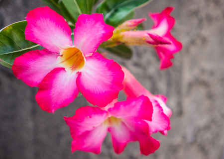 impala lily: Desert rose or Impala lily in garden