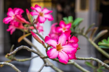 desert rose: Desert rose or Impala lily in garden