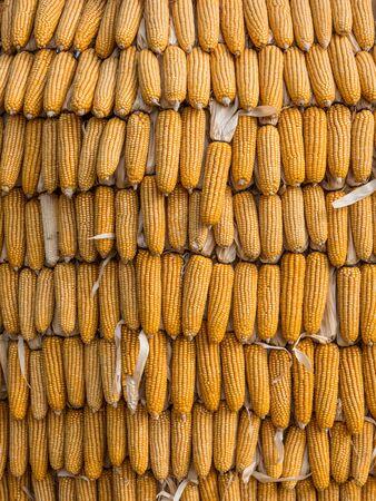 maize cultivation: Corn farm