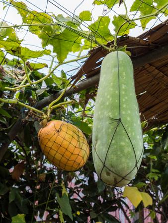 gourd: Bottle gourd, Calabash Stock Photo