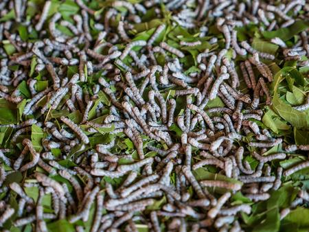 silkworm: Silkworm