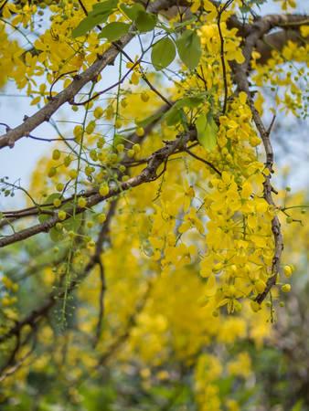 golden shower: Golden shower tree or Cassia fistula