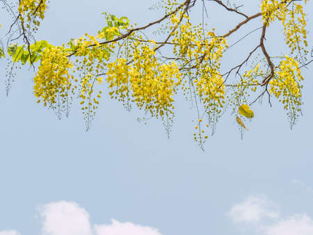 cassia: Golden shower tree or Cassia fistula