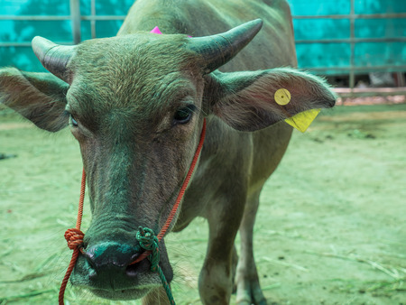 buey: Save cattle at slaughterhouse, release them to farm Foto de archivo