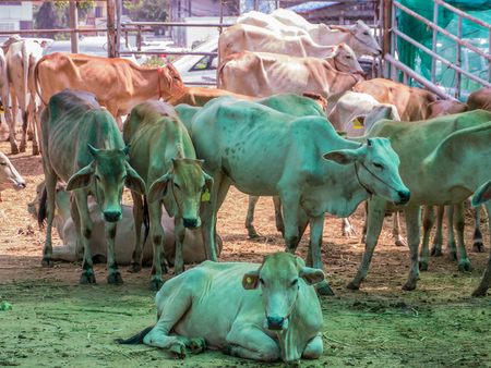 buey: Release cattle at slaughterhouse to agriculture farm
