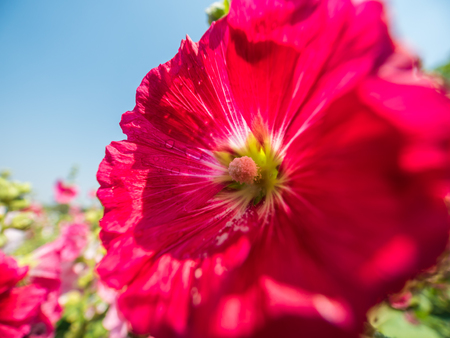 Red hollyhocks or Alcea rosea flower in natural park